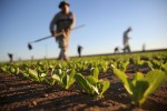 Agricultural workers cultivate romaine lettuce on a farm in Holtville, California  (Photo by John Moore/Getty Images)