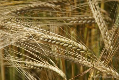 9907_06_31---Barley_web