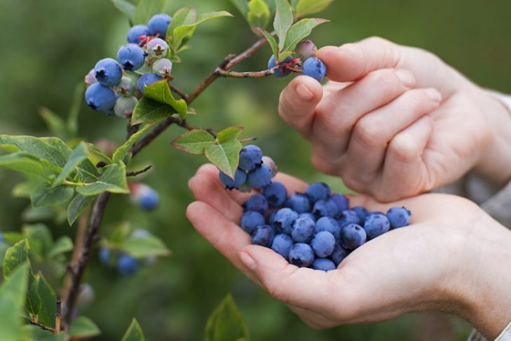 pick-blueberries