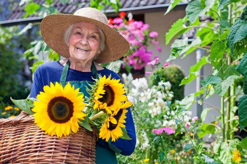Elderly Woman With Baskets Of Fresh Sunflowers